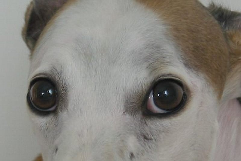 how to tell if your dog is dilated