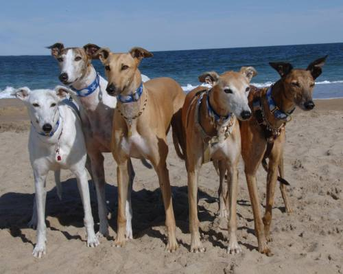 Happy Dogs Smiling What Is My Greyhound T...
