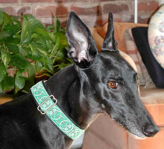 Lurcher collars martingale betting how to do research for sports betting