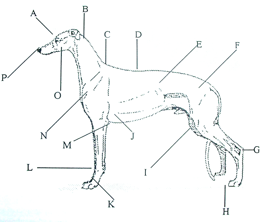 A Humorous Look at the Greyhound Anatomy | Greyhound Articles Online