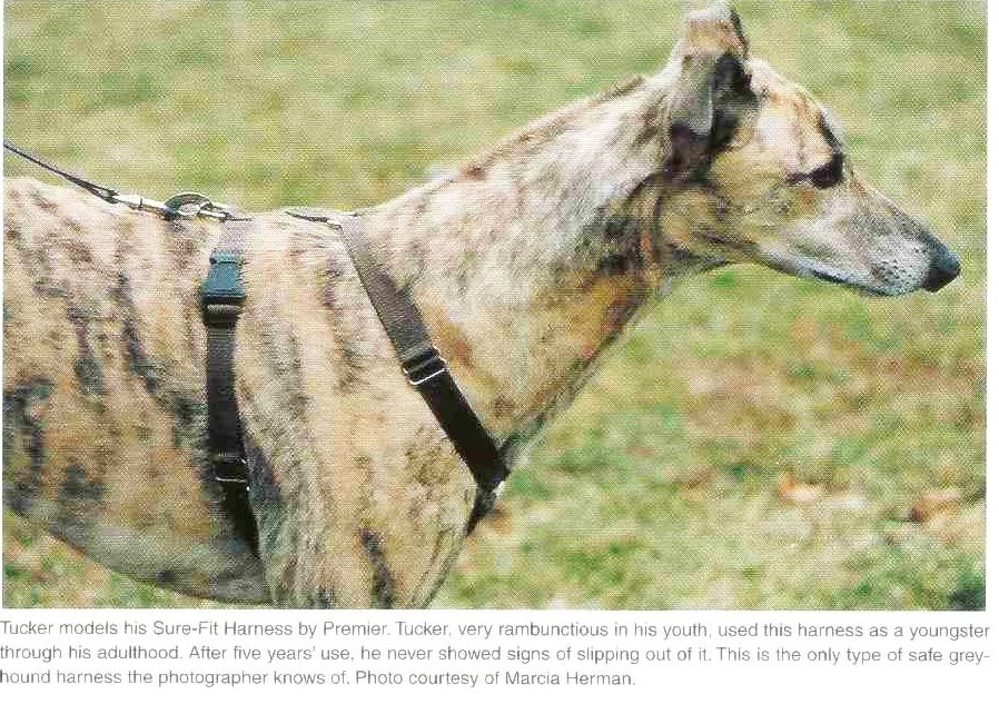 Collars: What To Where | Greyhound Articles Online