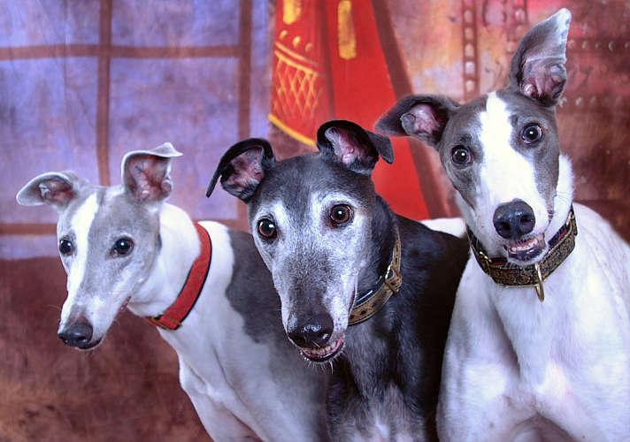 Rainbow Colors Rainbow Greyhounds Greyhound Articles
